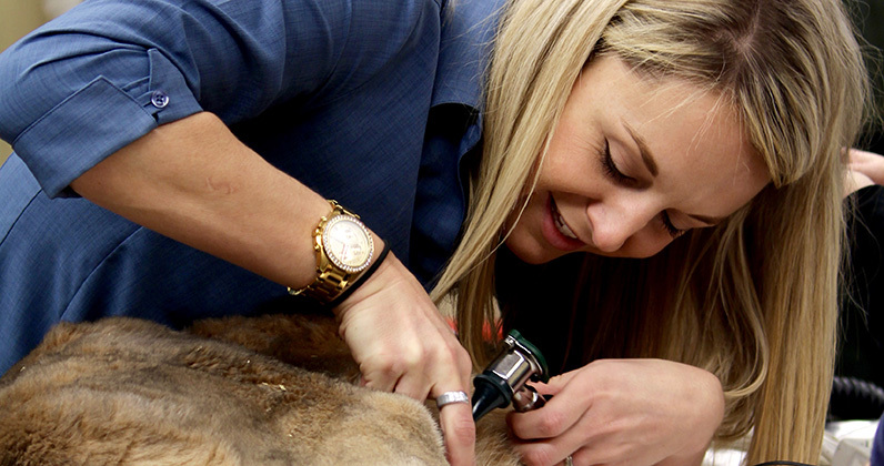 Dr. Debra Barbarits checks the eyes and ears of red kangaroo Chimera.