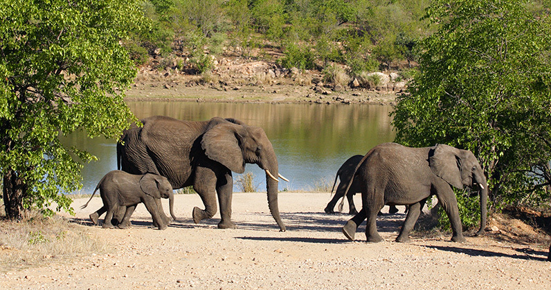 elephantherdcrossing1