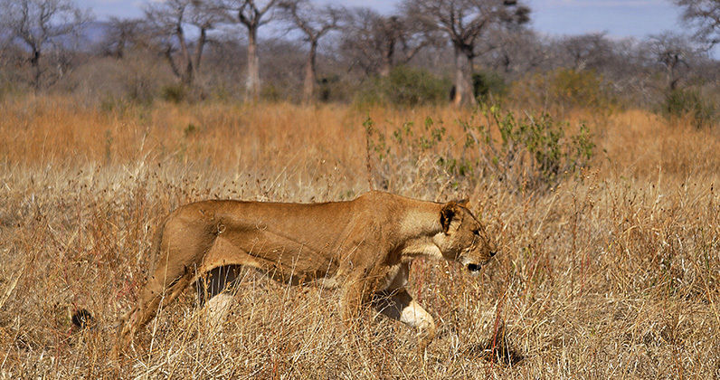 Tracking lions in Tanzania| Cleveland Zoological Society