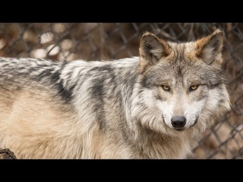 Mexican wolves at Cleveland Metroparks Zoo