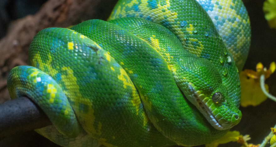 Green tree python wrapped around a branch