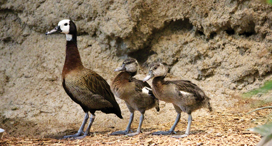 White-faced whistling duck with her chicks